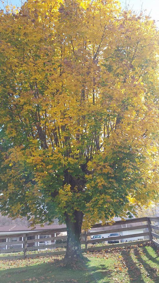 Tree in fall 1