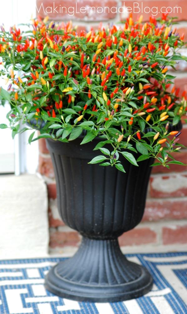 chili pepper plants